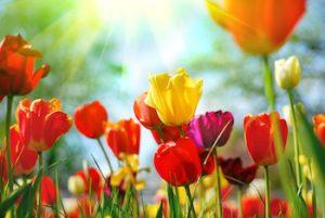 tulip inset